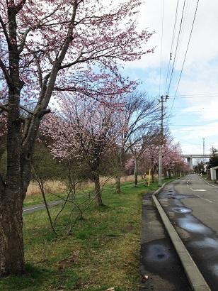 川沿いの桜1.jpg